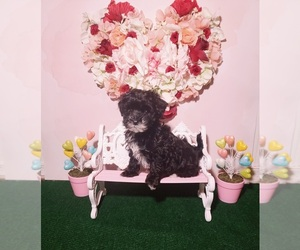 Maltipoo Puppy for Sale in INDEPENDENCE, Missouri USA