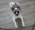 Akita Puppy For Sale in MURRIETA, CA, USA