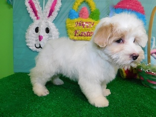 Maltese Puppy For Sale in HAMMOND, IN, USA
