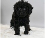 Puppy 4 Poodle (Miniature)