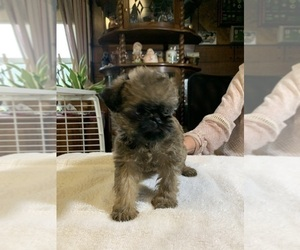 Brussels Griffon Puppy for Sale in NEW CASTLE, Indiana USA