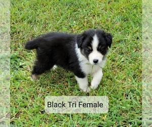 Australian Shepherd Puppy for sale in ARCHDALE, NC, USA