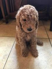 Poodle (Standard) Puppy For Sale in DENTON, TX, USA