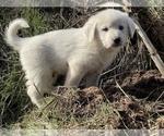 Small #1 German Shepherd Dog-Great Pyrenees Mix