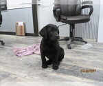 Small Photo #4 Labrador Retriever Puppy For Sale in SARCOXIE, MO, USA