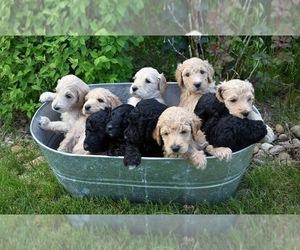 Goldendoodle Dog for Adoption in FREDERICK, Colorado USA