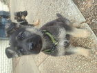 German Shepherd Dog Puppy For Sale in MCALESTER, OK, USA