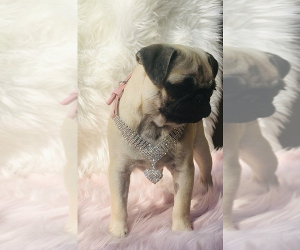 Medium Photo #22 Pug Puppy For Sale in CANTON, CT, USA