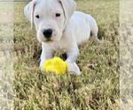 Puppy 1 Dogo Argentino
