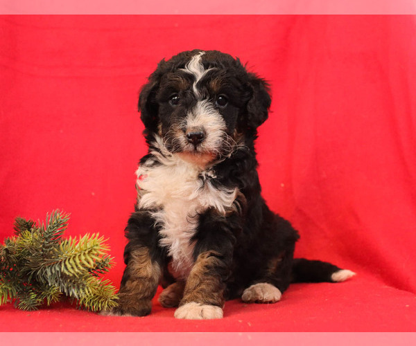 Medium Photo #2 Bernedoodle Puppy For Sale in MILLERSBURG, PA, USA