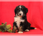 Small Photo #2 Bernedoodle Puppy For Sale in MILLERSBURG, PA, USA