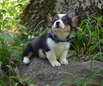 Small Photo #1 Pembroke Welsh Corgi Puppy For Sale in TUPELO, MS, USA