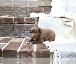Australian Shepherd Puppy for Sale in CHARLESTOWN, Indiana USA