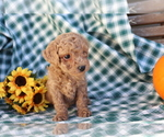 Small #3 Poodle (Miniature)