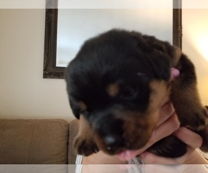 Rottweiler Puppy for sale in FRANKLINTON, NC, USA