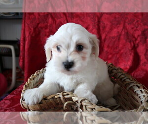 Coton de Tulear Puppy for sale in ANN ARBOR, MI, USA