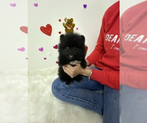 Pomeranian Puppy for Sale in HOUSTON, Texas USA