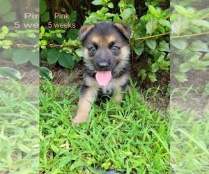 German Shepherd Dog Puppy for sale in BENSON, NC, USA