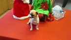 Chihuahua Puppy For Sale in LIGNUM, VA, USA