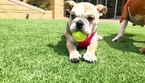 English Bulldogge Puppy For Sale in DALLAS, TX, USA
