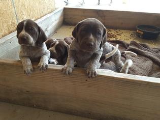German Shorthaired Pointer Puppy For Sale in CROSSVILLE, TN