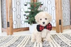 Christian Teacup Maltipoo Puppy