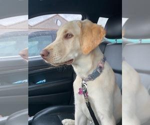 Labrador Retriever Puppy for sale in OAK PARK, IL, USA