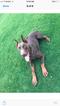 Doberman Pinscher Puppy For Sale in MONTCLAIR, CA, USA