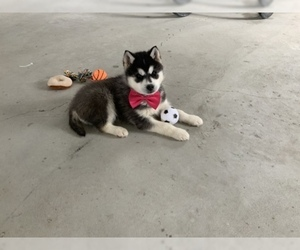 Siberian Husky Puppy for Sale in MILLERSBURG, Indiana USA