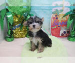 Small #3 Morkie