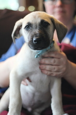 Great Pyredane Puppy For Sale in YELM, WA, USA