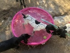 German Shorthaired Pointer Puppy For Sale in GRAND TERRACE, CA, USA