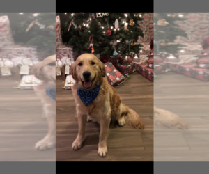 Father of the Golden Retriever puppies born on 12/13/2019