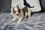 Cutie Adorable PomChi Puppy Available