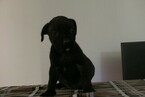 Boerboel Puppy For Sale near 46307, Crown Point, IN, USA