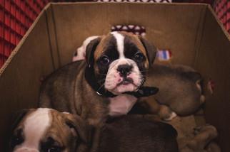 Olde English Bulldogge Puppy For Sale in MINNEAPOLIS, MN