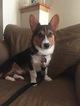 Pembroke Welsh Corgi Puppy For Sale in LOVES PARK, IL