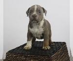 Puppy 6 American Bully