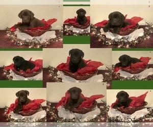 Labrador Retriever Puppy for sale in MCVEYTOWN, PA, USA