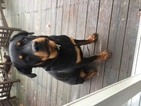 Rottweiler Puppy For Sale in BABYLON, NY
