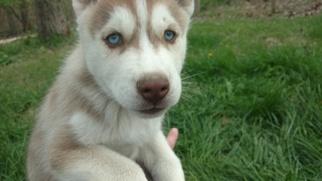 Siberian Husky Puppy For Sale in CHARLESTON, IL