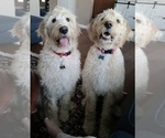 Small Photo #9 Labradoodle Puppy For Sale in PAW PAW, MI, USA