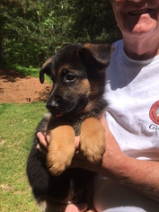 German Shepherd Dog Puppy For Sale in DULUTH, GA