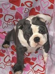 Bulldog Puppy For Sale in DAYTON, TX, USA