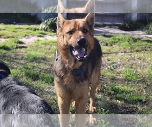 Father of the German Shepherd Dog puppies born on 02/06/2021