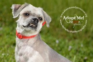 Guiness - Shih Tzu / Maltese / Mixed Dog For Adoption
