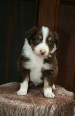 Miniature American Shepherd Puppy for sale in PARK HILL, OK, USA