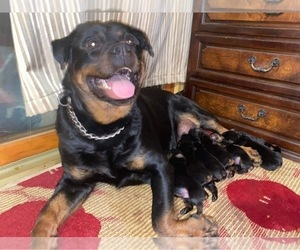 Mother of the Rottweiler puppies born on 01/01/2021