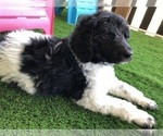 Puppy 4 Poodle (Standard)