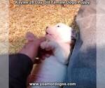 Small #33 Dogo Argentino